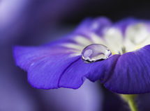 Flower and dew drops Stock Images