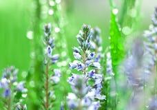 Flower in  dew Stock Photos