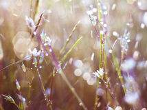 Flower in  dew Stock Photography