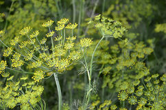 Flower of dill in garden detail photography Royalty Free Stock Photo