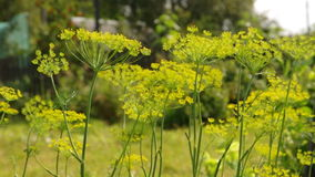 Flower of the dill ,rural Royalty Free Stock Photos