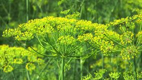 Flower dill stock video footage