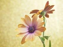 Flower Dimorfoteca Royalty Free Stock Photography