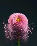 Flower - disintegrating Stock Images