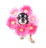 Flower dog Royalty Free Stock Photo