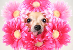 Flower dog Royalty Free Stock Photography