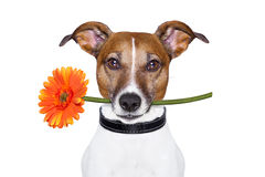Flower dog Stock Photography