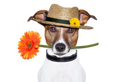 Flower dog with hat stock image