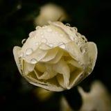Flower of dog-rose close up Stock Image