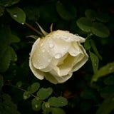 Flower of dog-rose close up Stock Photos