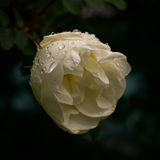 Flower of dog-rose close up Royalty Free Stock Photo