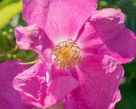 Flower of dog-rose (Rosa canina, rosehip). Royalty Free Stock Photos