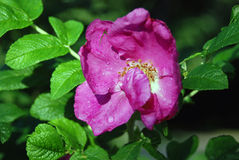Flower of dog-rose (rosehip) on a bush covered by raindrops Royalty Free Stock Photo