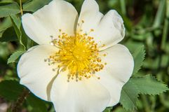 Flower dog rose Stock Images