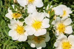 Flower dog rose Royalty Free Stock Photography