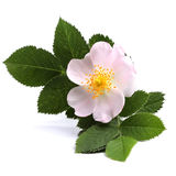 Flower of dog rose on white Stock Photos