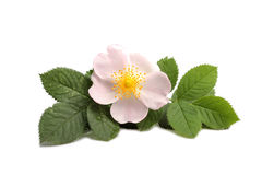 Flower of dog rose on white Stock Photography