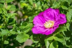 Flower of dogrose Stock Photo