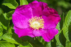 Flower of dogrose Royalty Free Stock Photography