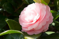 Flower of the double-flowered camellia Stock Photo