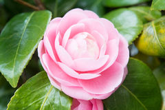 Flower of the double-flowered camellia Stock Image