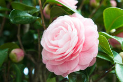 Flower of the double-flowered camellia Stock Images