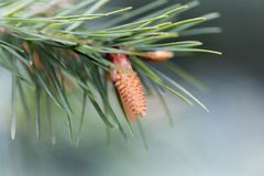 Flower of a douglas fir Stock Image