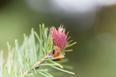 Flower of a douglas fir Royalty Free Stock Photos