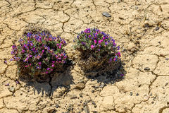 Flower Dracocephalum desert cracks ground. Scenic view with bushes of blue and pink flowers Dracocephalum on a background of dry ground with cracks on a sunny stock photo