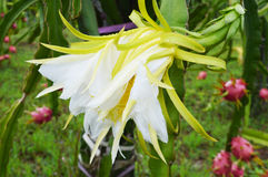 Flower Dragon fruit Royalty Free Stock Photos