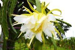 Flower Dragon fruit Stock Photo