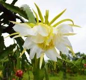 Flower Dragon fruit Stock Image