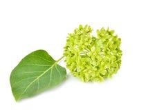 Flower of dregea volubilis Stapf (APOCYNACEAE). Stock Photography