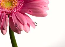 Flower and drops on a white Royalty Free Stock Images