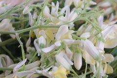 Flower of Drumstick Vegetable or Moringa Royalty Free Stock Image