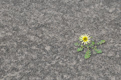 Flower on dry soil Royalty Free Stock Image