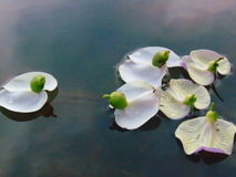Flower duck. Duck flower plants in the water Stock Images
