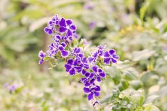 Flower duranta in the garden. royalty free stock images