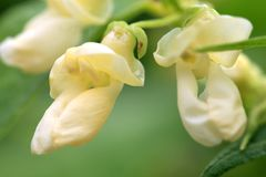 Flower of dwarf bean. White flower of dwarf bean in ecofriendly country home garden stock images