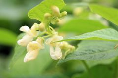 Flower of dwarf bean. White flower of dwarf bean in ecofriendly country home garden royalty free stock photos
