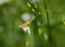 On flower. Early morning. Everything around in the night dew drops. Little grasshopper just woke up and sits on a Chickweed. His foot hugging flower. It shakes a Royalty Free Stock Photography
