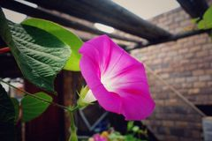 Flower. Early in the morning glory Royalty Free Stock Image
