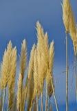 Flower ears and blue sky. Golden flower ears against clear blue sky Royalty Free Stock Photos
