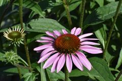 The flower of an Echinacea stock images