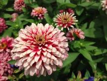 Flower. Edible Chrysanthemum, Florist Chrysanthemum Stock Images