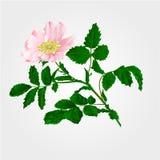 Flower eglantine vector Royalty Free Stock Photos