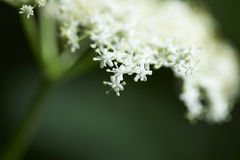Flower of elder tree Royalty Free Stock Image