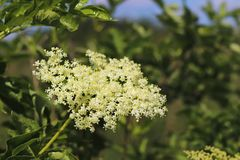 Flower of elderberry in the sun. A blue flower in droplets of dew on a blurred green background. Plants of the meadows of the regi. On with a temperate climate stock photo