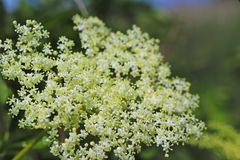 Flower of elderberry in the sun. A blue flower in droplets of dew on a blurred green background. Plants of the meadows of the regi. On with a temperate climate stock photos
