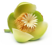 Flower of Elephant apple Royalty Free Stock Images